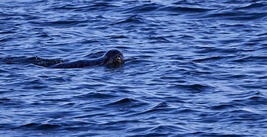 Billeder til Færgesekretariatet og sæl i farvandet